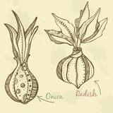 Warzywo rysująca rzodkiew i cebula royalty ilustracja