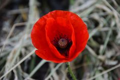 Extraordinary beauty of the poppy royalty free stock image