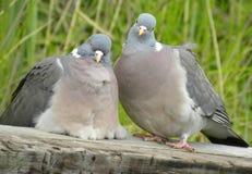 Was betrachten Sie? Tauben Stockfoto