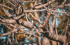 Kingfisher waiting for it`s prey royalty free stock photography