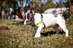 Young gray and white french bulldog posing for the camera stock image