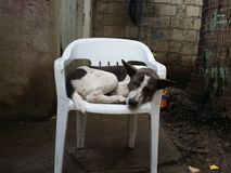 Dog sleeping on chair Royalty Free Stock Images