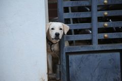 A dog next door. He was popping out to see the stranger , so that he could protect his home stock photography