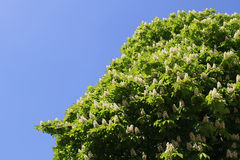 It was spring blooming chestnut tree stock photo