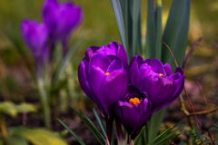 It was springtime. Crocus flower on the spring meadow. Photography of nature Stock Photography
