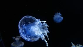 Jelly fish with black drop royalty free stock images