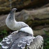 Vulture at Zoo Royalty Free Stock Image