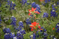 Wildflowers in East Texas. This was taken in East Texas, while driving around looking for nice images. Blue bonnets and Indian paint brushes Stock Photo