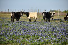 Blue Bonnets and cows Royalty Free Stock Photography