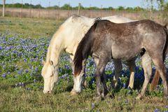 Blue Bonnets and Horses Stock Photo