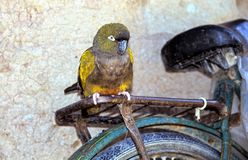 Give me a lift - Parrot on a Bicycle, Argentinia stock photography