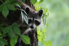 Racoon wondering why I am taking his picture Royalty Free Stock Photography