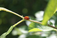 Ladybug is tripping in a tiny appletree. Was walking around with my camera like i often do, there i got to meet this tiny one Royalty Free Stock Photo