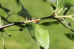 Mrs ladybug is tripping in a tiny appletree. Was walking around with my camera like i often do, there i got to meet this tiny one Stock Image