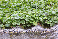 Wasabi. Grows naturally along stream beds in mountain river valleys in Japan Stock Image