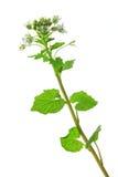 Wasabi (Eutrema japonicum) Stock Image