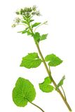 Wasabi (Eutrema japonicum). Flowering plant isolated in front of white background Royalty Free Stock Photography