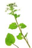 Wasabi (Eutrema japonicum) Royalty Free Stock Photography
