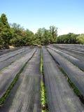 Wasabi Farm. Photo of a wasabi farm in Japan Royalty Free Stock Photos