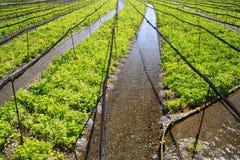 Wasabi farm. Azumino Nagano Japan Royalty Free Stock Photos