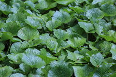 Wasabi garden. Pictured leaves of the wasabi all over the ground in Izu,Japan Stock Photos