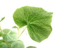 Wasabi leaf Stock Photo
