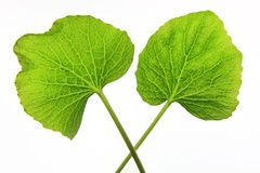 Wasabi leaves. Two leaves of japanese horse-radish wasabi on white background Royalty Free Stock Photo