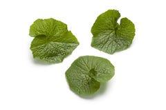 Wasabi leaves Stock Image