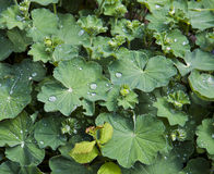 Wasabi plant (Wasabia japonica) Gold Heart. Wasabi plant in flowerbed with morning dew drops Stock Photo