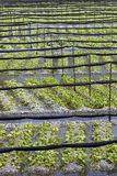 Wasabi Plants Growing at Farm. Rows of wasabi plants growing at a farm in Japan's Northern Alps Royalty Free Stock Photo
