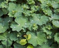 Wasabi rośliny Złocisty serce (Wasabia japonica) Zdjęcie Stock