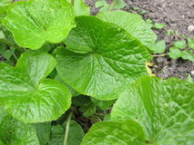 Wasabi, Wasabia japonica Royalty Free Stock Photography