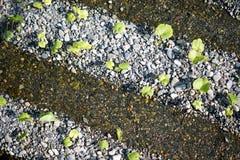Wasabilantgård Arkivfoton