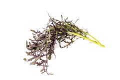 Wasabind, Red Mustard leaves, royalty free stock photos