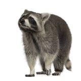 Wasbeer (9 maanden) - lotor Procyon Stock Fotografie