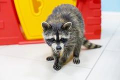 Wasbeer bij de dierentuin, stock fotografie