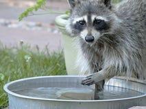Wasbeer bij het water geven van pan Royalty-vrije Stock Afbeelding