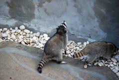 Wasbeer in de openluchtkooi, in de Dierentuin van Moskou Soort van roofzuchtige zoogdieren van familie van enotovy royalty-vrije stock foto