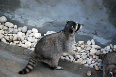 Wasbeer in de openluchtkooi, in de Dierentuin van Moskou Soort van roofzuchtige zoogdieren van familie van enotovy stock afbeeldingen