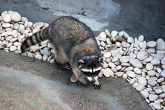 Wasbeer in de openluchtkooi, in de Dierentuin van Moskou Soort van roofzuchtige zoogdieren van familie van enotovy royalty-vrije stock foto's