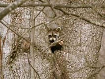 Wasbeer in de Werf stock fotografie