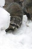 Wasbeer in de winter onder stenen Stock Afbeeldingen