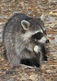 Wasbeer die Chips eet royalty-vrije stock afbeeldingen