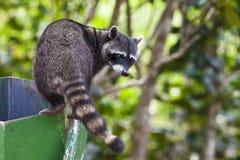 Wasbeer die een Vuilnisbak onderzoekt Stock Foto's