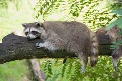 Wasbeer die op een boomtak rusten op een warme dag royalty-vrije stock afbeeldingen