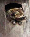 Wasbeer in een holle boom Royalty-vrije Stock Foto