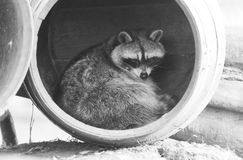 Wasbeer in een vat, het rusten Royalty-vrije Stock Foto's