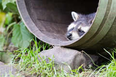 Wasbeer in een vat, het rusten Royalty-vrije Stock Afbeeldingen