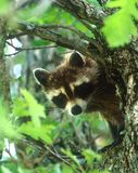 Wasbeer in Eiken boom Stock Afbeeldingen