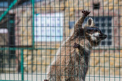 Wasbeer het hangen op kooi in dierentuin stock afbeelding